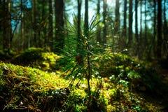 Germoglio di cedro siberiano, primo piano Paesaggio della natura di ecologia Sun in foresta verde fotografia stock