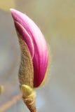 Germoglio di fiore Fotografia Stock