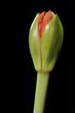 Germoglio di fiore Immagine Stock