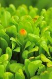 Germoglio di fiore arancione Immagine Stock