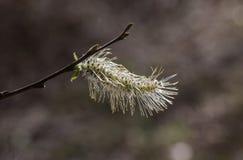 Germoglio di fiore cinerea del Salix immagine stock libera da diritti