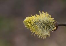 Germoglio di fiore cinerea del Salix fotografia stock libera da diritti