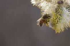 Germoglio di fiore cinerea del Salix fotografia stock