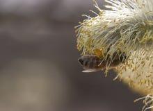 Germoglio di fiore cinerea del Salix immagini stock