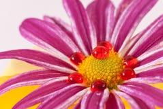 Germoglio di fiore circondato da colore rosso Fotografia Stock Libera da Diritti