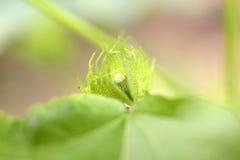 Germoglio di fiore del cotone Fotografia Stock Libera da Diritti