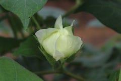 Germoglio di fiore del cotone con la simmetria perfetta fotografia stock libera da diritti