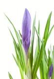 Germoglio di fiore del croco Immagine Stock Libera da Diritti