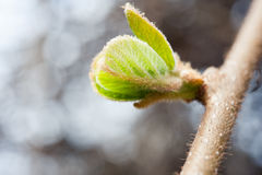 Germoglio di fiore del kiwi fotografia stock libera da diritti