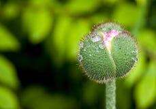 Germoglio di fiore del papavero Fotografia Stock
