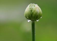 Germoglio di fiore dell'allium Fotografia Stock Libera da Diritti