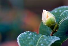 Germoglio di fiore della camelia fotografie stock
