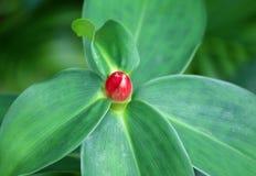 Germoglio di fiore di alpinia purpurata o dello zenzero rosso sulle foglie verdi Fotografia Stock Libera da Diritti