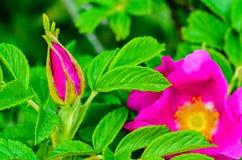 Germoglio di fiore di Brier in molla in anticipo Fotografie Stock