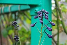 Germoglio di fiore di speronella fotografia stock libera da diritti