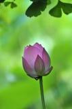 Germoglio di fiore rosa del loto Fotografia Stock Libera da Diritti