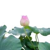 Germoglio di fiore rosa del loto con le foglie del loto fotografia stock libera da diritti