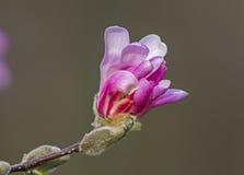 Germoglio di fiore rosa della magnolia Fotografia Stock