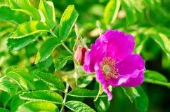 Germoglio di fiore rosa selvaggio in molla in anticipo Fotografia Stock