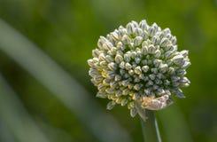 Germoglio di fiore su una pianta con i semi delle cipolle nel giardino Fotografie Stock Libere da Diritti