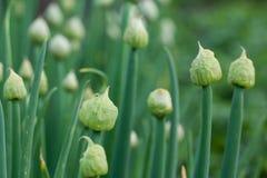 Germoglio di fiore su una pianta con i semi delle cipolle nel giardino Fotografia Stock Libera da Diritti