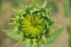 Germoglio di fiore di un girasole Fotografia Stock
