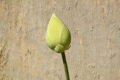Germoglio di fiore verde del loto Immagine Stock