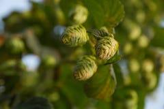Germoglio di fiori di luppolo o nella pianta Fotografia Stock Libera da Diritti