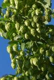 Germoglio di fiori di luppolo o nella pianta Fotografie Stock Libere da Diritti