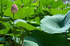 Germoglio di Lotus nelle foglie Fotografie Stock