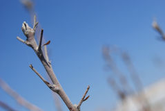 Germoglio di presto di melo della fioritura Fotografie Stock