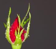 Germoglio di Rosa Immagini Stock