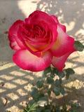 germoglio di rosa Fotografia Stock Libera da Diritti