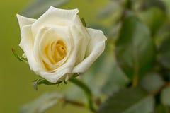 Germoglio di Rosa bianca Fotografia Stock Libera da Diritti