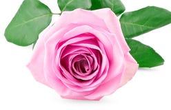 Germoglio di rosa di colore rosa Immagini Stock Libere da Diritti