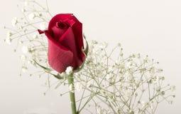 Germoglio di rosa di colore rosso Immagine Stock