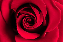 Germoglio di rosa di colore rosso fotografie stock libere da diritti