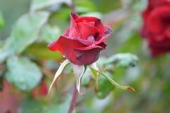 Germoglio di Rosa nella pioggia Fotografia Stock Libera da Diritti