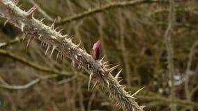 Germoglio di rosa selvaggio Immagini Stock Libere da Diritti