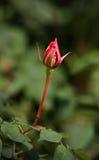 Germoglio di rosa solo Fotografia Stock Libera da Diritti