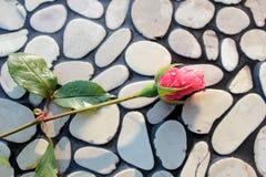 Germoglio di Rosa sulla parete dei ciottoli Immagine Stock Libera da Diritti