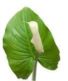 Germoglio di un calla del fiore su un foglio Fotografia Stock Libera da Diritti