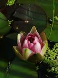 Germoglio di una ninfea rosa Fotografie Stock