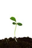 Germoglio di una pianta con i fogli isolati su un bianco Fotografie Stock