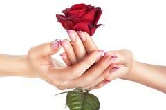 Germoglio di una rosa rossa in mani femminili. Fotografia Stock Libera da Diritti