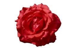 Germoglio di una rosa rossa su un fondo bianco Fotografia Stock Libera da Diritti