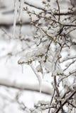 Germoglio e ghiaccio Fotografia Stock Libera da Diritti