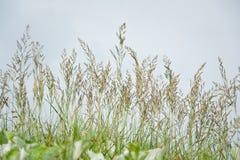 Germoglio-erba della piuma contro il cielo blu Fotografia Stock Libera da Diritti