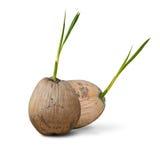 Germoglio gemellato del cocco isolato Fotografie Stock