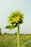 Germoglio giallo del girasole Fotografia Stock Libera da Diritti